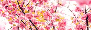 pink spring flowers cherry blossoms
