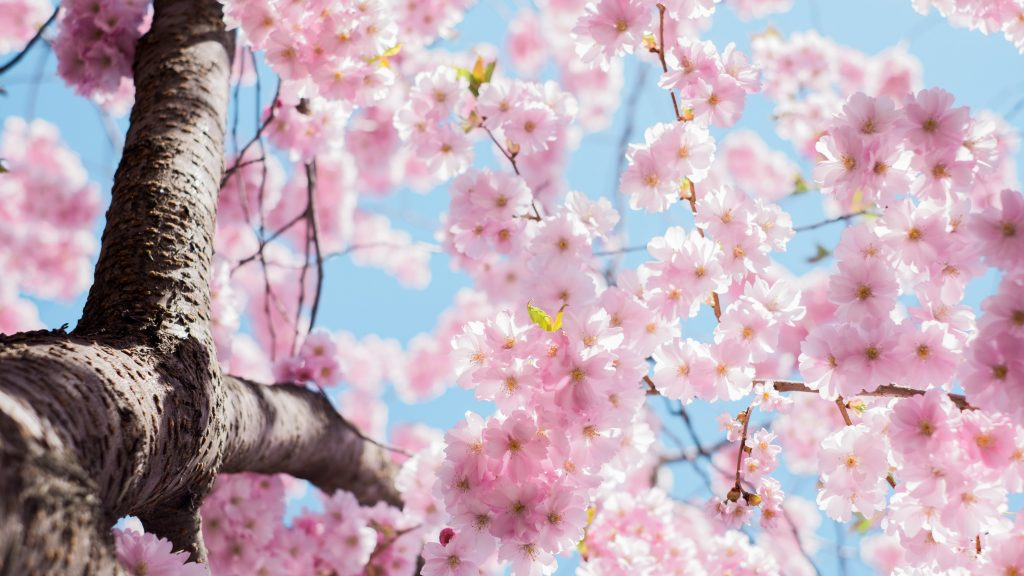uncertainty pink spring tree flowers cherry blossoms